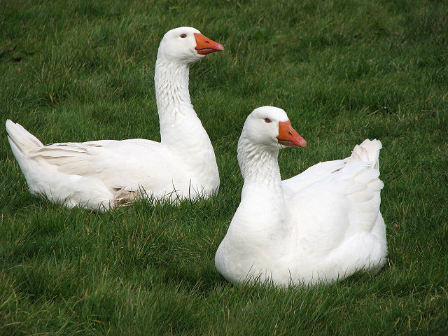 Geese on the village green