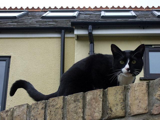 Meadow Lane cat on garden wall