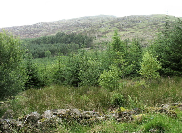 The upper edge of the forest on the slopes of Rhobell Fawr