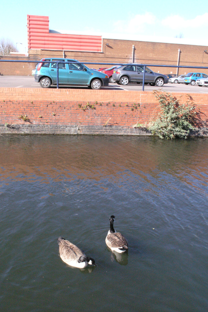 Geese on Canal