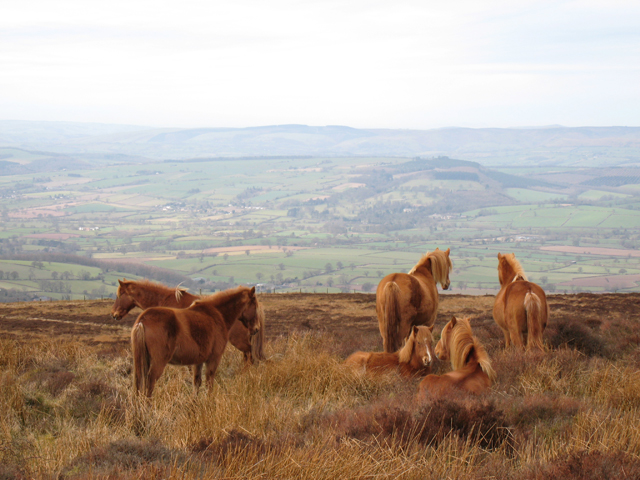 Wild Horses on Abdon Burf