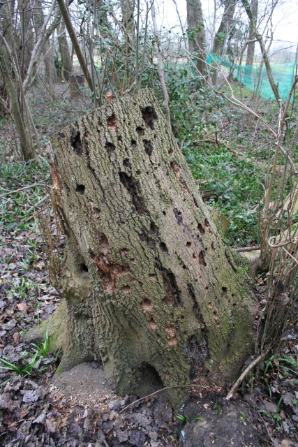 Woodpecker Stump