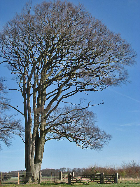 Magnificent tree beside footpath to Felbrigg Pond