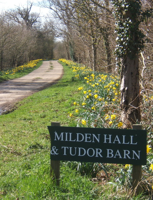 Daffodils at start of driveway to Milden Hall