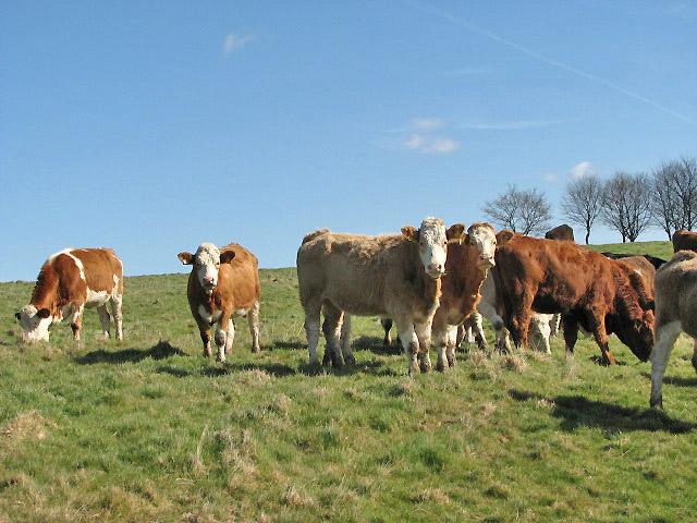 Curious heifers