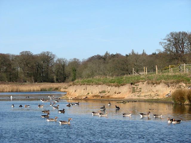 Geese on Felbrigg Pond