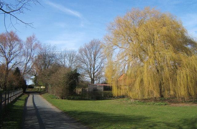 Monks Eleigh Tye lane, weeping willow in leaf