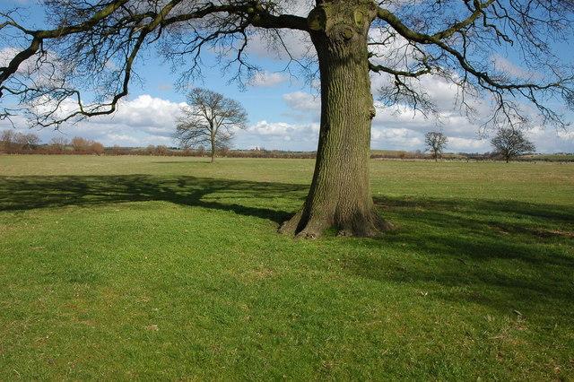 Oak trees on Longdon Marsh