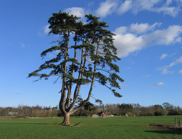 Multi-branched pine, Poltimore Park, Devon