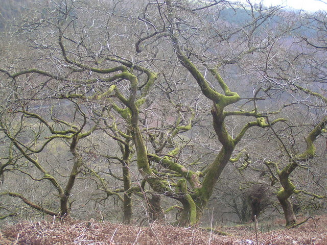 Old mossy trees