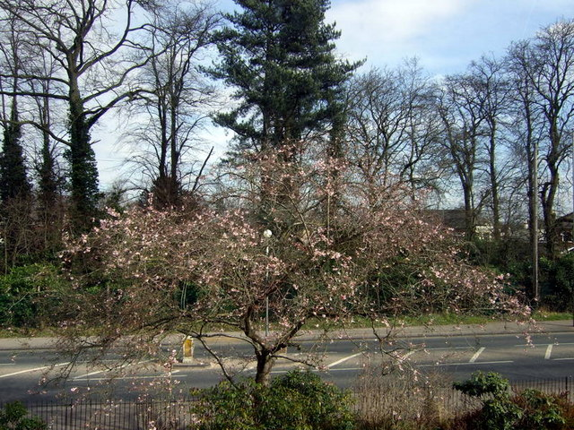 Spring blossom in Shinfield Road