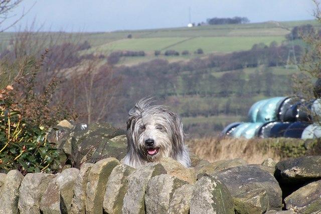 Guard Dog, near Stocksbridge