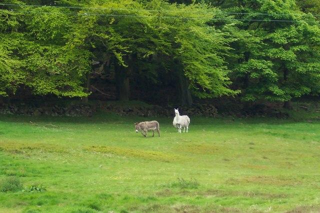 Donkey and Llama from Hoar Stones Road