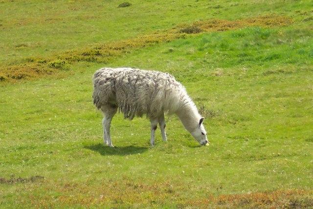 Llama from Hoar Stones Road, Near Bradfield