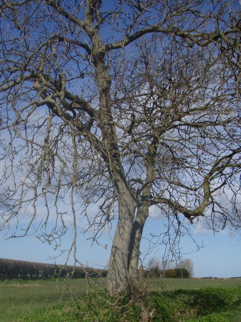 Fenland Tree