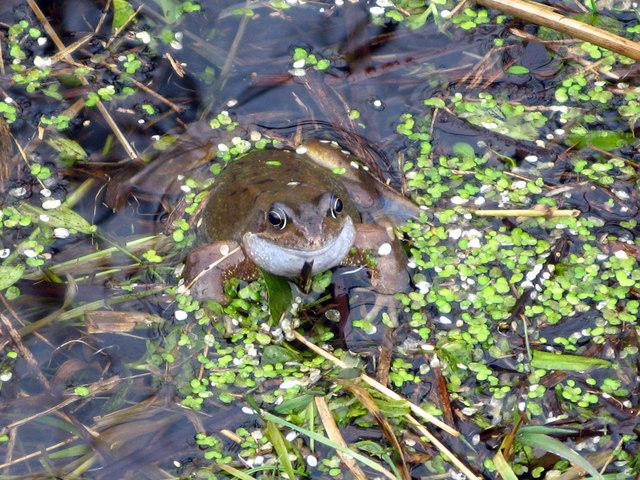 Mr Toad (Bufo bufo)