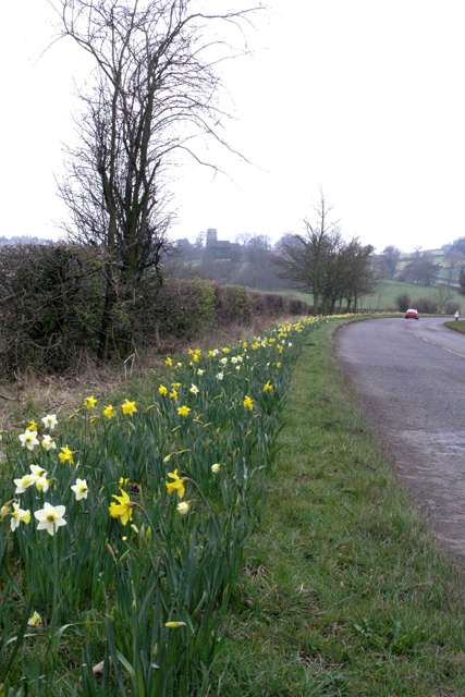 Daffodils on the B600