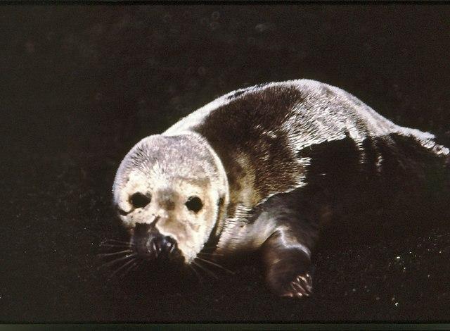 Atlantic Grey Seal at the foot of Oiseval