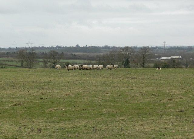 Farmland and sheep south of Ashby Magna