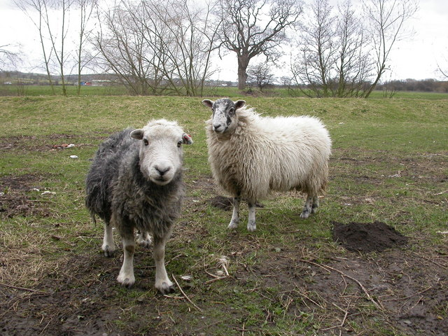 Curious Sheep and a molehill