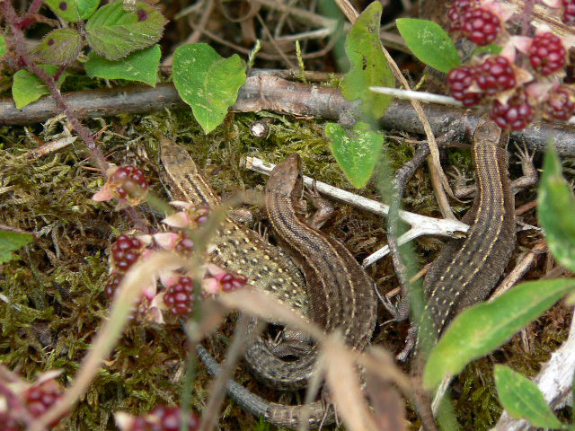 Lizards near path to Bury Ditches