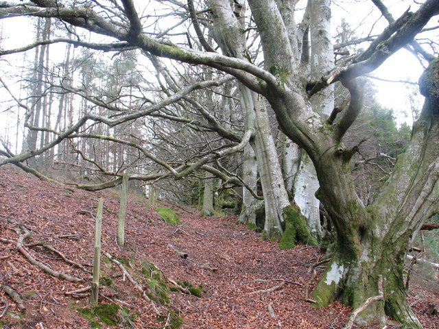Beech trees in Slack Wood