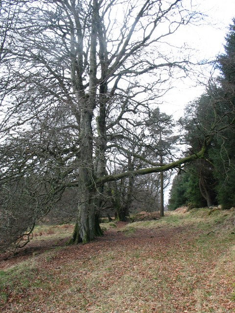 Old drover's road, beech trees and pine