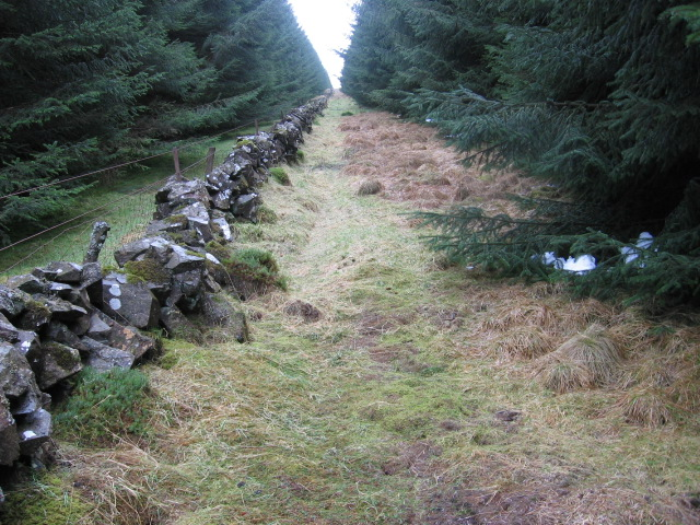Stone wall through the forest on Archiebald Gair Head