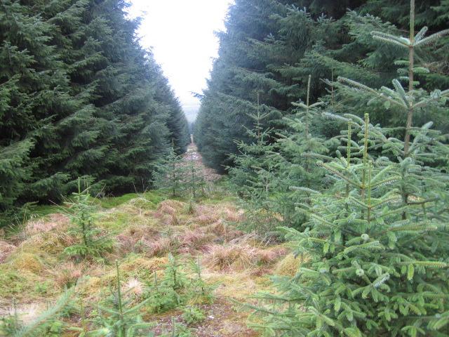 Forest break towards Simon's Knowe