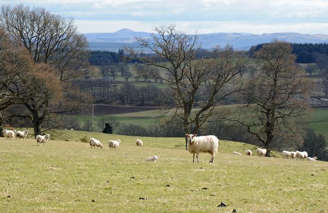 Sheep and New Born Lamb Groan Farm