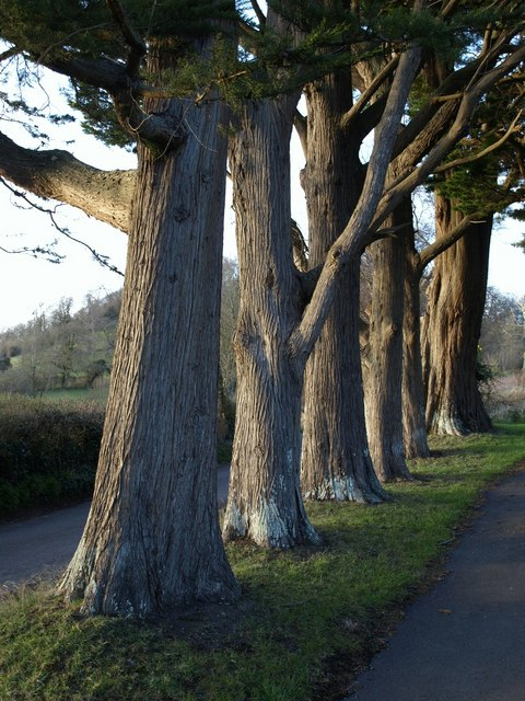 Row of trees, Brent Knoll
