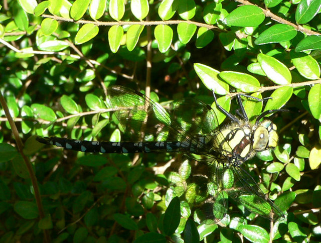 Giant upside down dragonfly