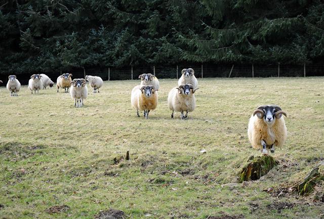 Inquisitive Sheep