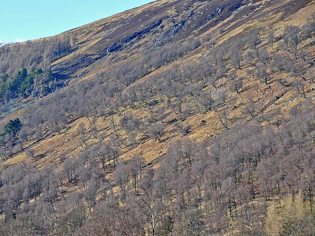 Birches on the southern slopes of Ben Meggernie
