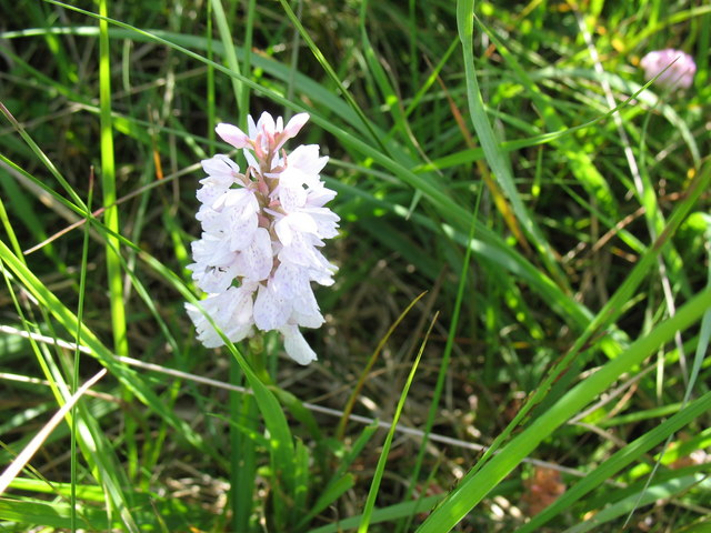 The common spotted orchid