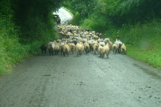 Moving sheep near Woodtown