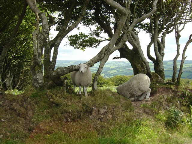 Sheep with an Exmoor backdrop