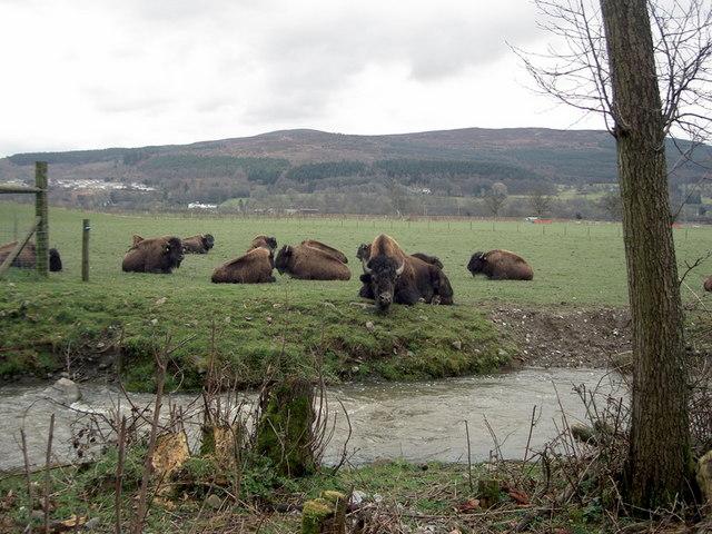 Bison on the Rhug estate - 2