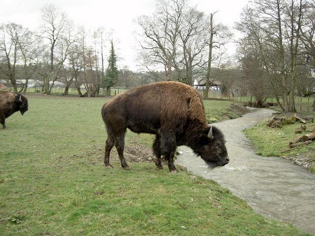 Bison on the Rhug estate - 3