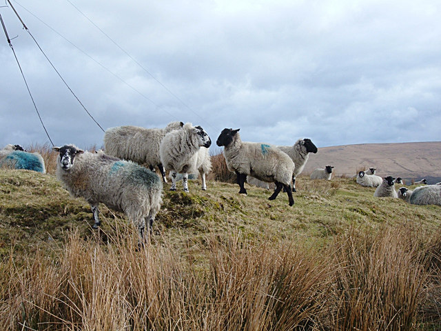 Sheep Farming above Walsden