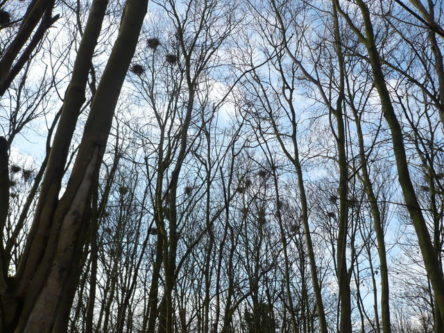 Rookery by the lane to Lynsted