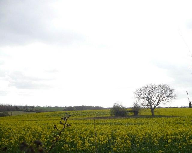 Rape fields by Cellar Hill