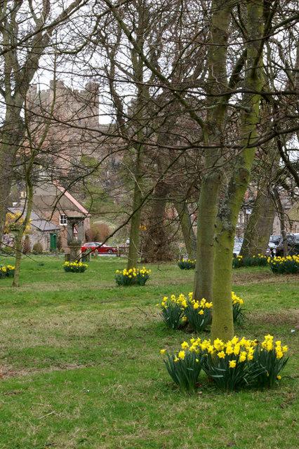 Daffodils in Bamburgh
