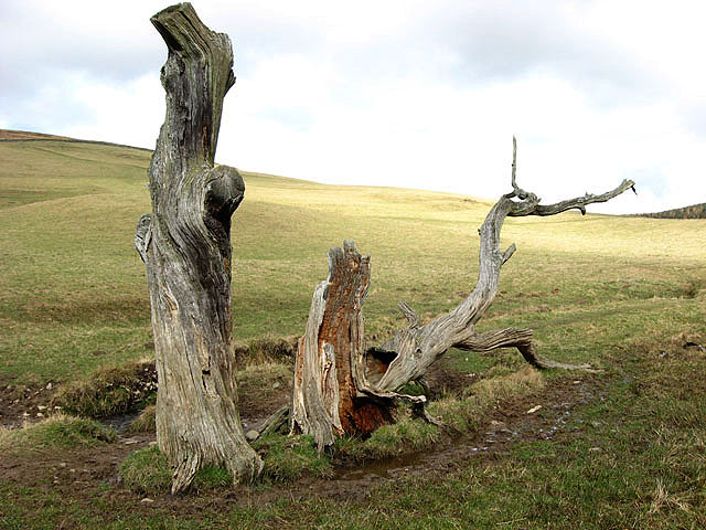 Dead and decaying trees by the Ladhope Burn