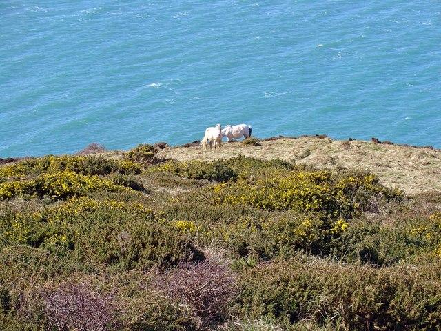 Horses on Trwyn y Bwa