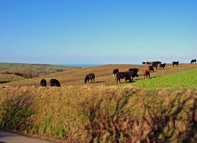 Cattle, Maensaeson