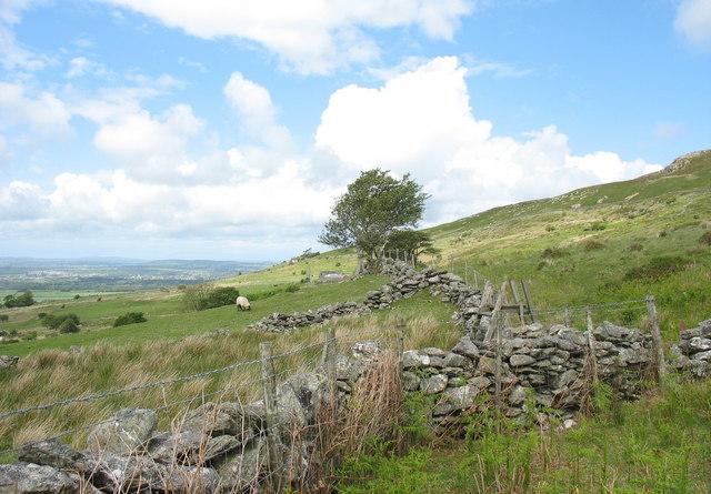 Sheep grazing on ffridd near Cae'r-gof