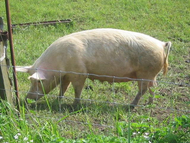 Pig alongside the old railway track near Cloughton