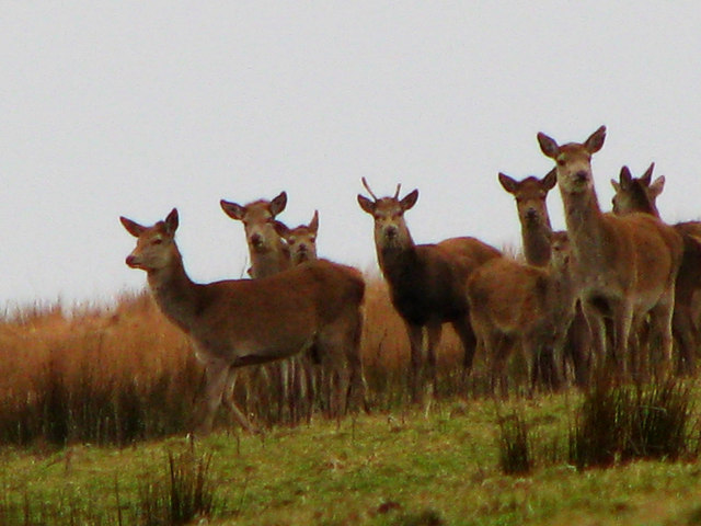 Red Deer Titchcombe