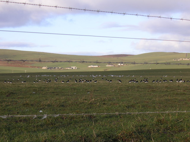Oystercatchers on farmland at the edge of Stenness Loch